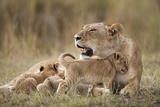 Lioness Nursing Cubs in Masai Mara National Reserve Photographic Print by Paul Souders