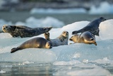 Harbor Seals on Iceberg, Alaska Photographic Print by Paul Souders