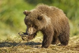 Brown Bear Spring Cub, Katmai National Park, Alaska Photographic Print by Paul Souders