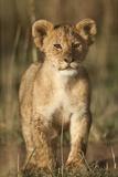 Lion Cub on Savanna in Masai Mara National Reserve Fotodruck von Paul Souders