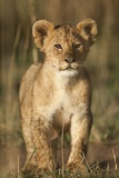 Lion Cub on Savanna in Masai Mara National Reserve Photographic Print by Paul Souders