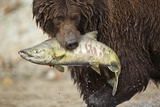 Brown Bear Catching Spawning Salmon, Katmai National Park, Alaska Photographic Print by Paul Souders