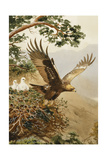 Golden Eagle with Young, Aviemore Reproduction procédé giclée par John Cyril Harrison