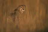 Cheetah in Grass Photographic Print by Paul Souders