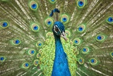 Male Indian Peacock in Costa Rica Photographic Print by Paul Souders