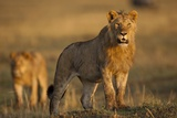 Lion on Savanna at Sunrise Photographic Print by Paul Souders