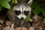Raccoon at Assateague Island National Seashore in Maryland Photographic Print by Paul Souders