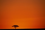 Lone Acacia Tree at Sunrise Photographic Print by Paul Souders