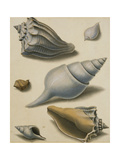 Studies of Shells and Marine Flora Giclee Print by Sydenham Teast Edwards