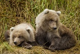 Brown Bear Spring Cubs, Katmai National Park, Alaska Photographic Print by Paul Souders