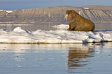 Walrus on Iceberg Near Kapp Lee in Midnight Sun Photographic Print by Paul Souders