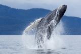 """Buckelwal beim """"Breaching"""", Alaska Fotografie-Druck von Paul Souders"""