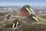 Walrus Herd Lying on Beach Photographic Print by Paul Souders