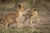 Lion Cubs Playing Photographic Print by Paul Souders