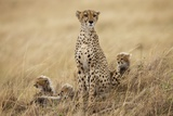 Female Cheetah with Cubs in Tall Grass Photographic Print by Paul Souders