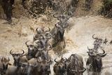 Wildebeest Migration, Masai Mara Game Reserve, Kenya Fotografisk trykk av Paul Souders