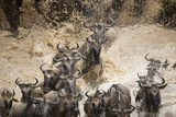 Wildebeest Migration, Masai Mara Game Reserve, Kenya Photographic Print by Paul Souders