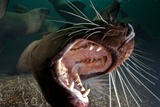 Closeup of Open Steller Sea Lion Mouth, Hornby Island, British Columbia, Canada Photographic Print
