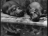 Two Hippos Rest by a Pool Photographic Print