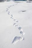 Polar Bear Tracks in Fresh Snow at Spitsbergen Island Fotografisk tryk af Paul Souders