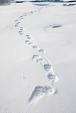 Polar Bear Tracks in Fresh Snow at Spitsbergen Island Fotografie-Druck von Paul Souders