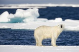 Wet Polar Bear on Pack Ice in the Svalbard Islands Photographic Print by Paul Souders