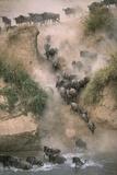 Wildebeests Running into River Fotografisk trykk av Paul Souders
