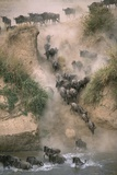 Wildebeests Running into River Photographic Print by Paul Souders