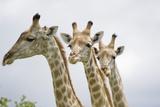 Giraffe in Savuti Marsh Photographic Print by Paul Souders