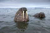 Walruses Swimming Photographic Print by Paul Souders
