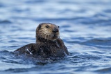 Sea Otter, Alaska Photographic Print by Paul Souders
