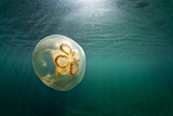 Moon Jellyfish, Alaska Photographic Print by Paul Souders