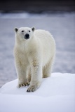 Polar Bear on Iceberg at Svalbard on Summer Evening Photographic Print by Paul Souders