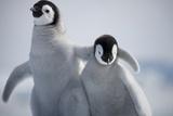 Emperor Penguin Chicks in Antarctica Fotografisk tryk af Paul Souders