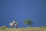 Plains Zebras in Savanna Photographic Print by Paul Souders
