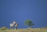Plains Zebras in Savanna Photographic Print by Paul Souders