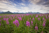 Fireweed in Meadow at Hallo Bay in Katmai National Park Photographic Print by Paul Souders