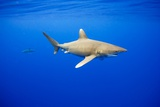 Oceanic Whitetip Sharks in Hawaii Photographic Print by Paul Souders
