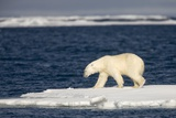 Polar Bear on Melting Pack Ice at Spitsbergen Photographic Print by Paul Souders