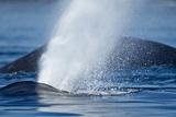 Spouting Humpback Whale, Alaska Photographic Print by Paul Souders