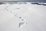 Polar Bear Tracks in Fresh Snow at Spitsbergen Island Lámina fotográfica por Paul Souders