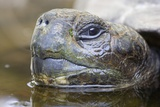 Close-Up of Giant Tortoise Head Photographic Print by Paul Souders