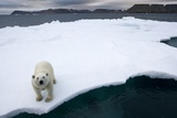 Polar Bear on Sea Ice at Svalbard on Summer Evening Photographic Print by Paul Souders