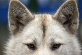 Sled Dog in Greenland Photographic Print by Paul Souders