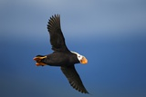 Puffin, Katmai National Park, Alaska Photographic Print by Paul Souders