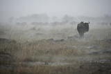 Wildebeest in Rain Storm in Masai Mara National Reserve Photographic Print by Paul Souders