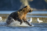 Fishing Brown Bear in Katmai National Park Photographic Print by Paul Souders