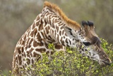 Giraffe Feeding on Bush in Masai Mara National Reserve Photographic Print by Paul Souders
