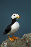 Puffin, Katmai National Park, Alaska Reproduction photographique par Paul Souders