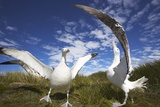 Wandering Albatrosses on South Georgia Island Photographic Print by Paul Souders